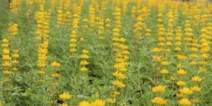 金黃色魯冰花花海齊開,紫色鼠尾草花毯接力綻放