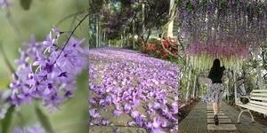四大紫藤花賞花景點大公開,錯過了就要等明年